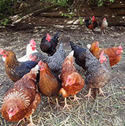 verschiedene Hühner