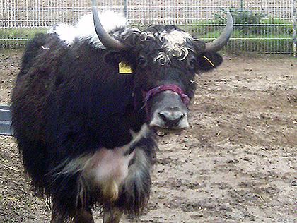 Die Yak Kuh Perdy