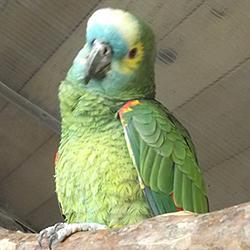 unser Kakadu - Salomonenkakadu